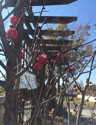 鹿児島紅梅、庭木・立花ガーデン
